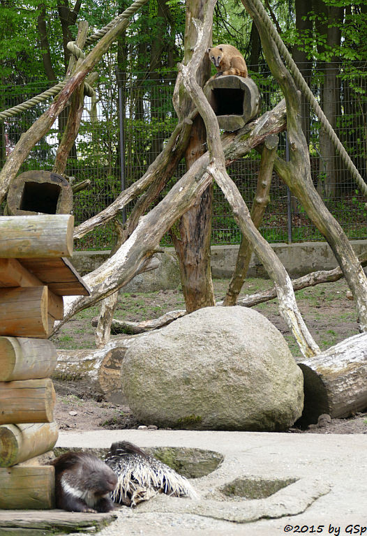 Stachelschwein, Nasenbär