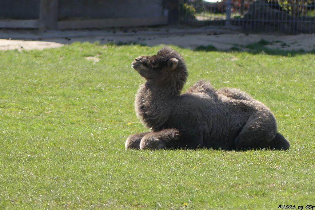Trampeltier (Zweihöckriges Kamel, Hauskamel) CONNOR geb am 7.4.21