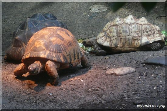 Strahlenschidkröte und Pantherschildkröte