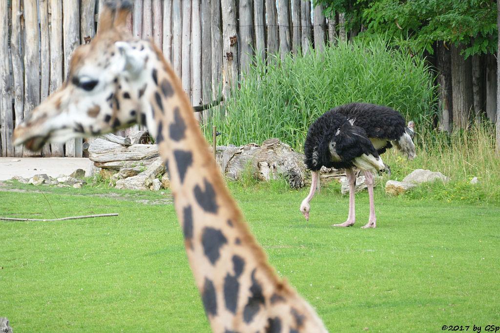 Rothschildgiraffe (Uganda-Giraffe, Baringo-Giraffe), Nordafrikanischer Strauß (Nordafrikanischer Rothalsstrauß), Afrikanischer Marabu