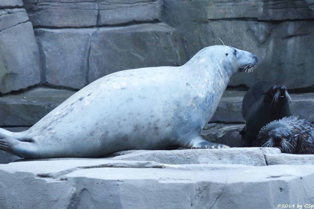 Kegelrobbe und Südamerikan. Seebär