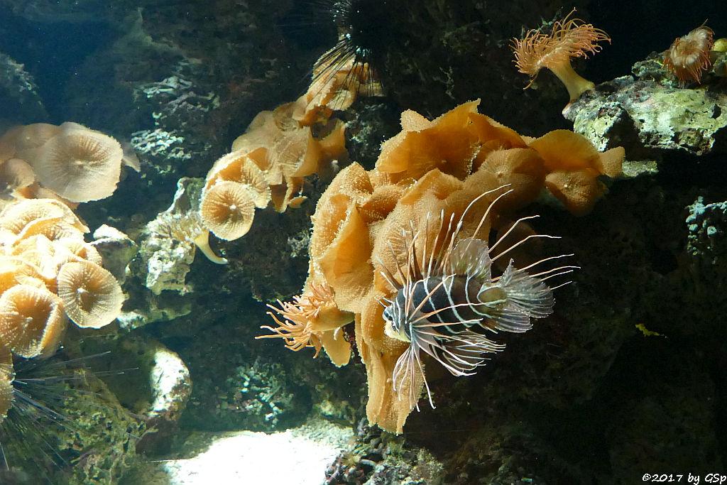 Strahlenfeuerfisch (Strahlen-Rotfeuerfisch)