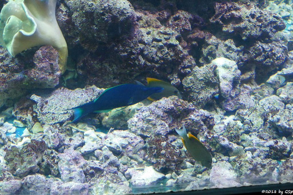 Blauer Vogellippfisch