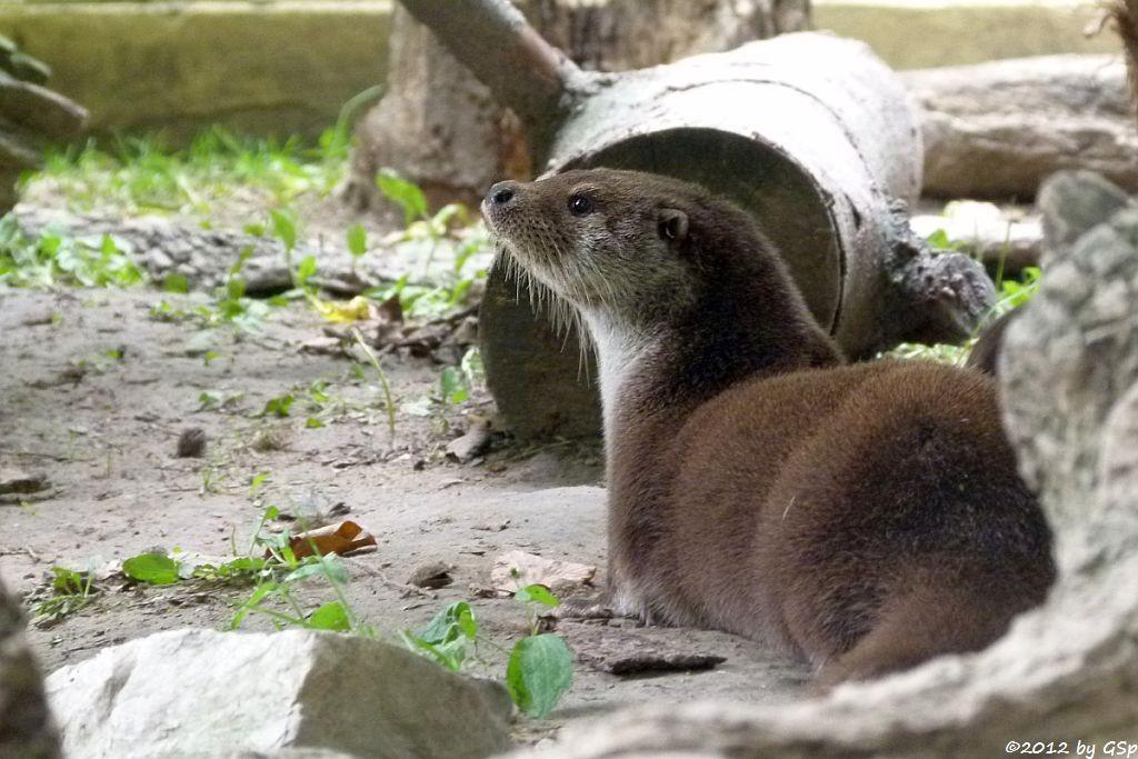 Europäischer Otter