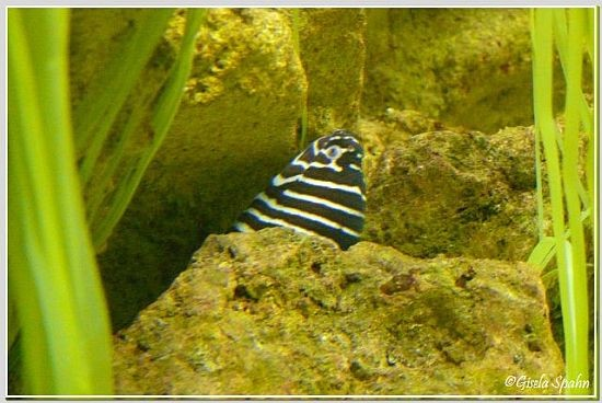Zebra-Muräne