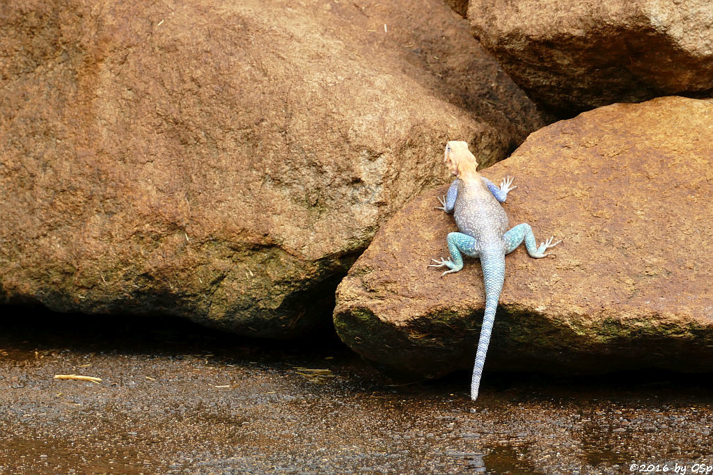 Blaue Siedleragame (Ostafrikan. Siedleragame, Kenia-Felsagame)