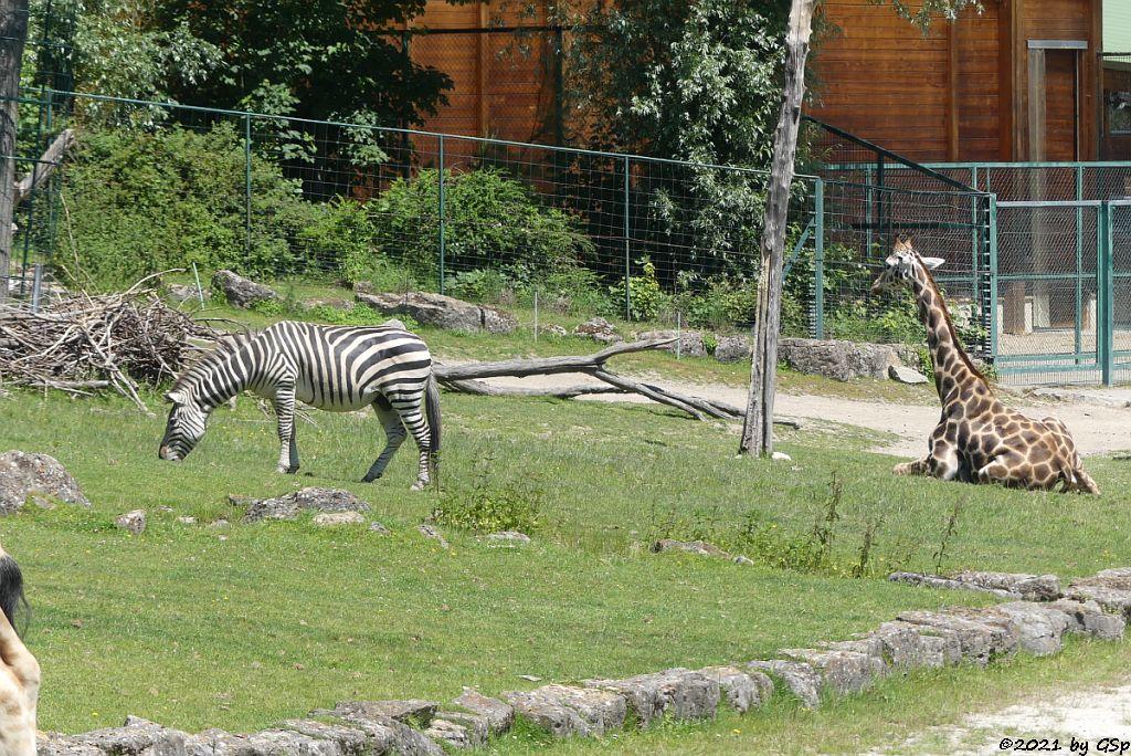 Böhm-Steppenzebra (Grant-Zebra), Rothschildgiraffe (Uganda-Giraffe, Baringo-Giraffe)