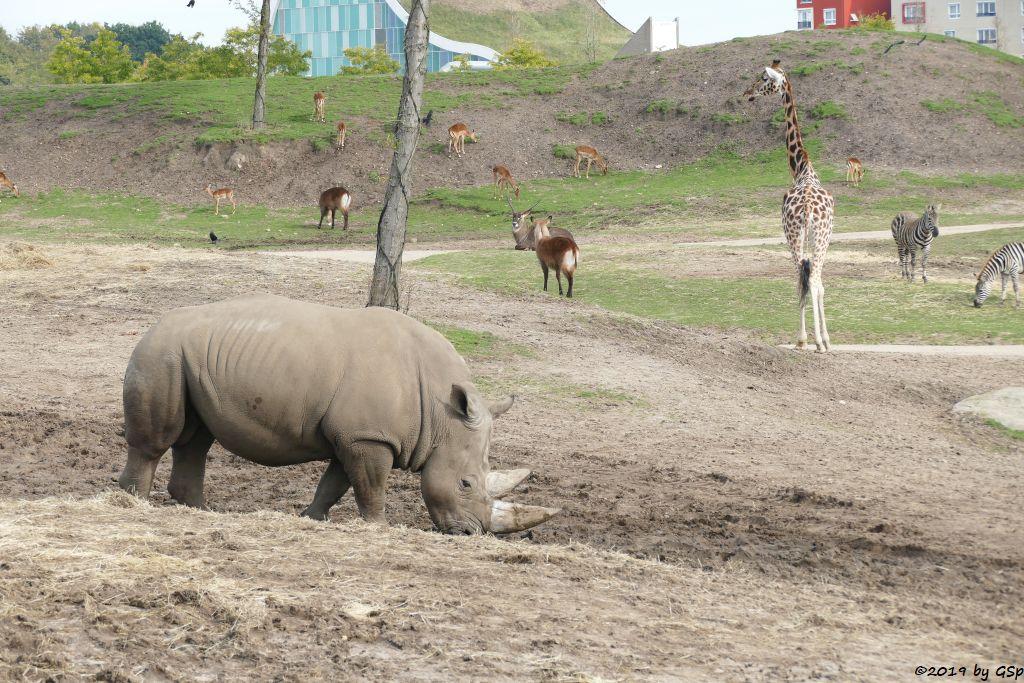 Südliches Breitmaulnashorn, Gewöhnliche Impala (Schwarfersenantilope), Defassa-Wasserbock (Roter Wasserbock), Rothschildgiraffe (Uganda-Giraffe, Baringo-Giraffe), Böhm-Steppenzebra (Grant-Zebra)