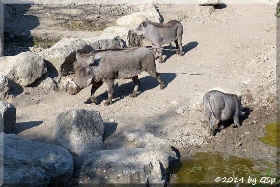 Warzenschwein, Jungtiere geb. am 2.10.13