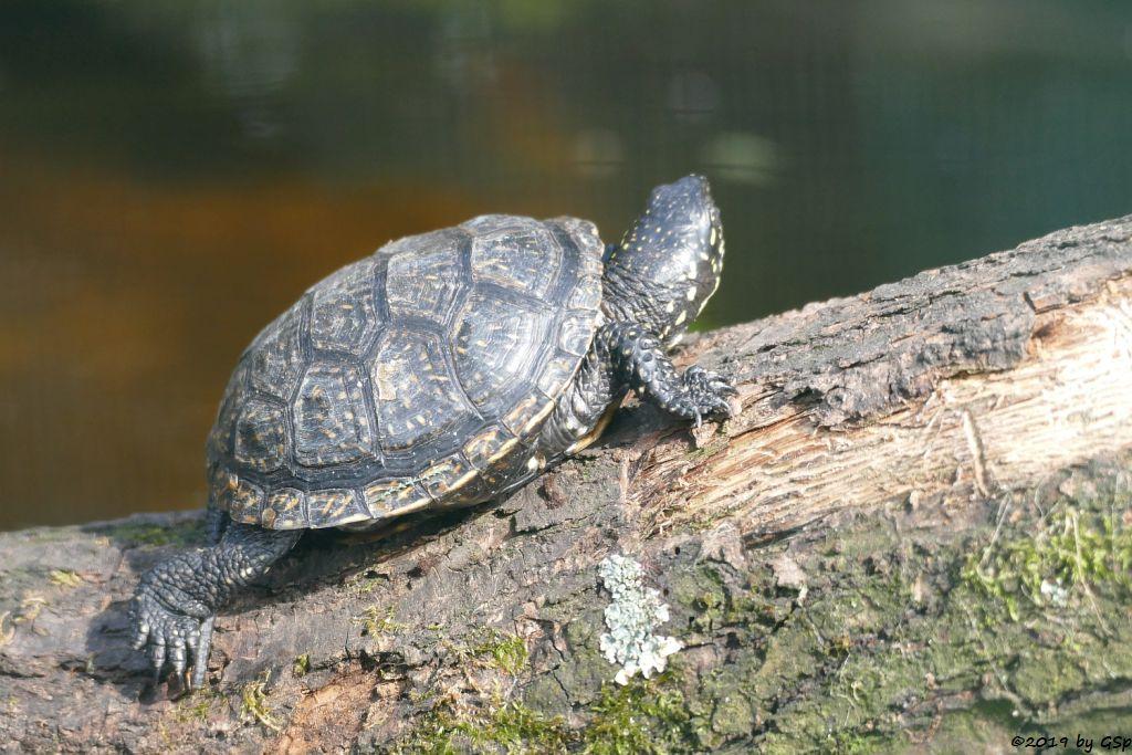 Europ. Sumpfschildkröte