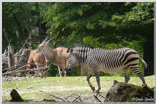 Südafrikan. Strauß, Hartmann-Bergzebra, Elenantilope