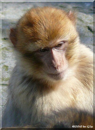 Magot (Berberaffe)