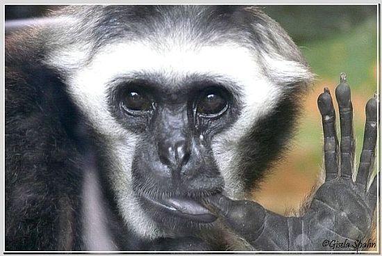"""Gibbon-Mischling """"Daumenlutscher"""""""