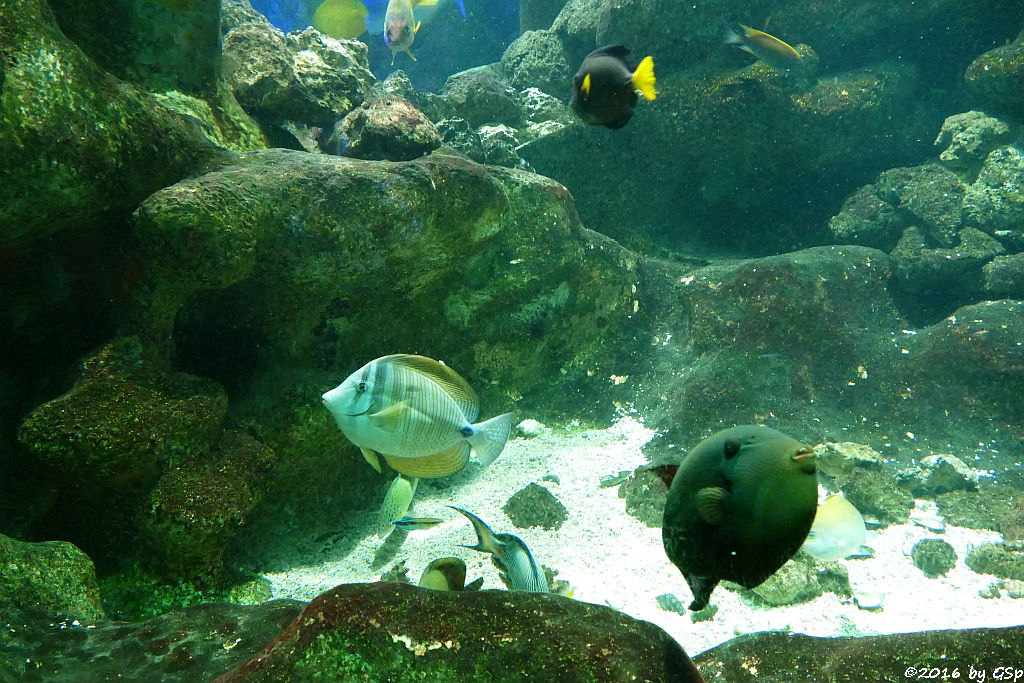 Westlicher Segelflossen-Doktorfisch (Desjardins Segeldoktorfisch, Indischer Segelflosser)