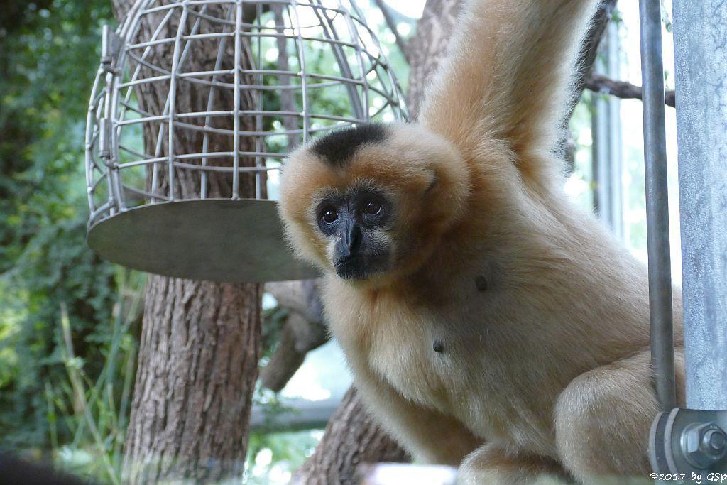 Nörlicher Weißwangengibbon (Nördl.Weißwangen-Schopfgibbon) ELLIOT