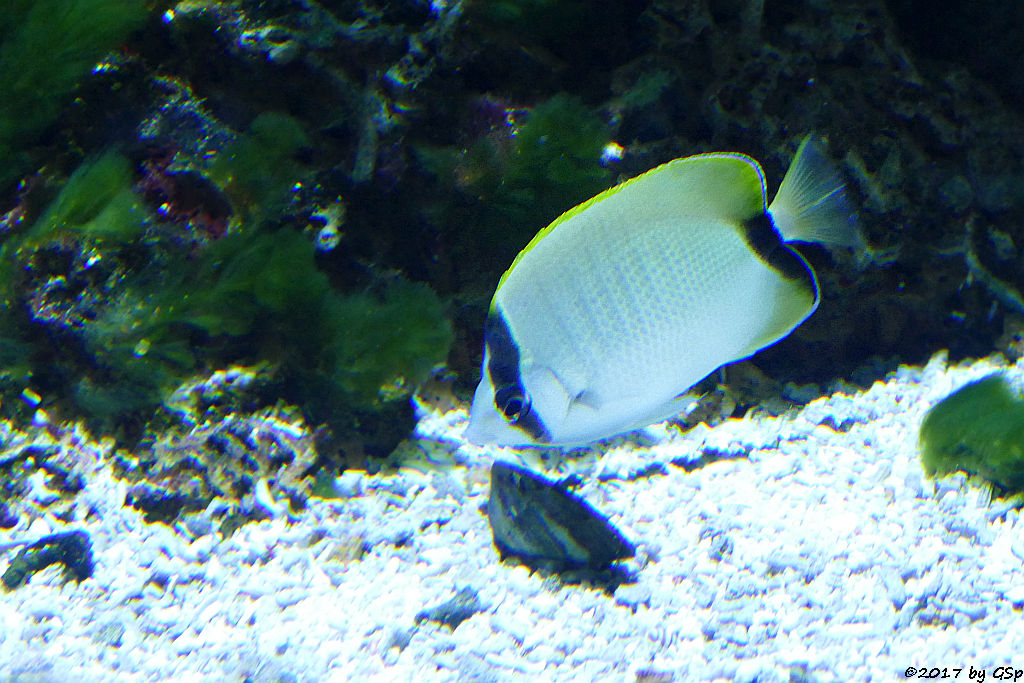 Karibik-Falterfisch