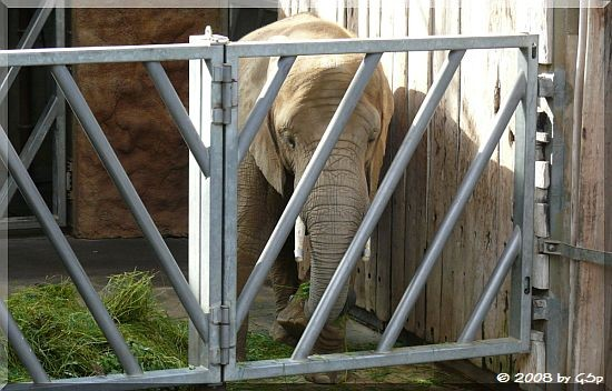 Afrikanischer Elefant MOGLI