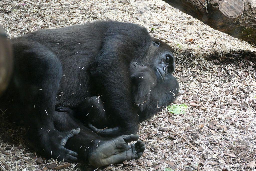 Flachlandgorilla DIAN mit Tochter XETSA, geb. 1.3.17 (7 1/2 Monate alt)