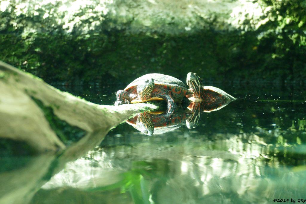Nelsons Schmuckschildkröte (Florida-Rotbauchschildkröte)