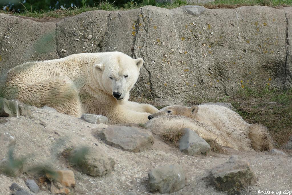 Eisbär, Jungtiere geb. am 2.12.14