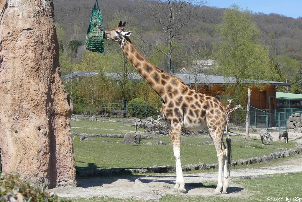 Rothschildgiraffe (Uganda-Giraffe, Baringo-Giraffe), Böhm-Steppenzebra (Grant-Zebra), Südliches Streifengnu (Blaues Gnu)