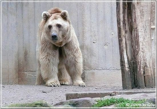 Syrischer Braunbär