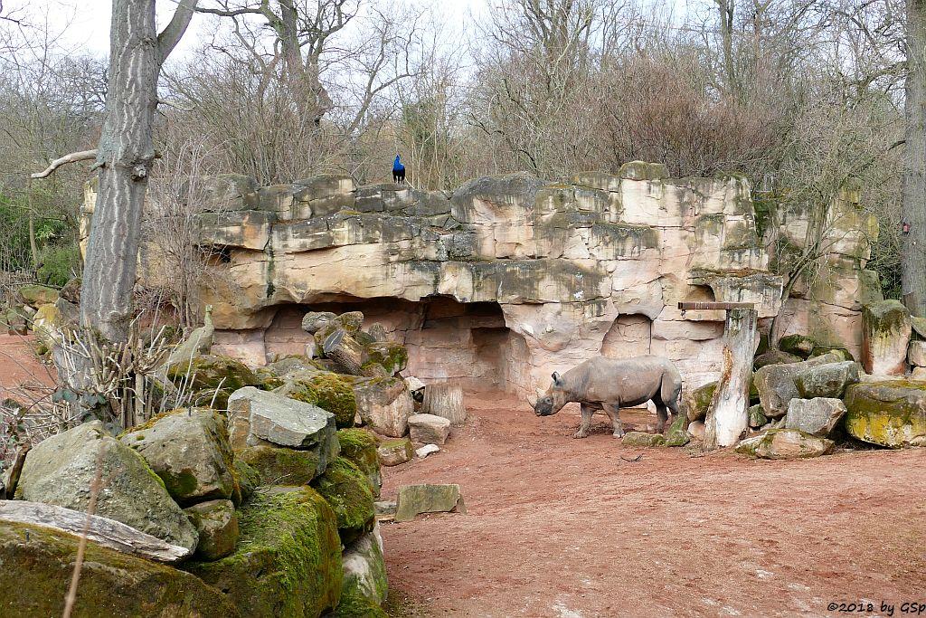 Ostafrikanisches Spitzmaulnashorn (Östliches Spitzmaulnashorn