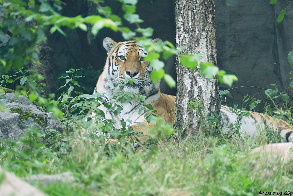Amurtigerin (Sibirischer Tiger, Mandschu-Tiger) BELLA