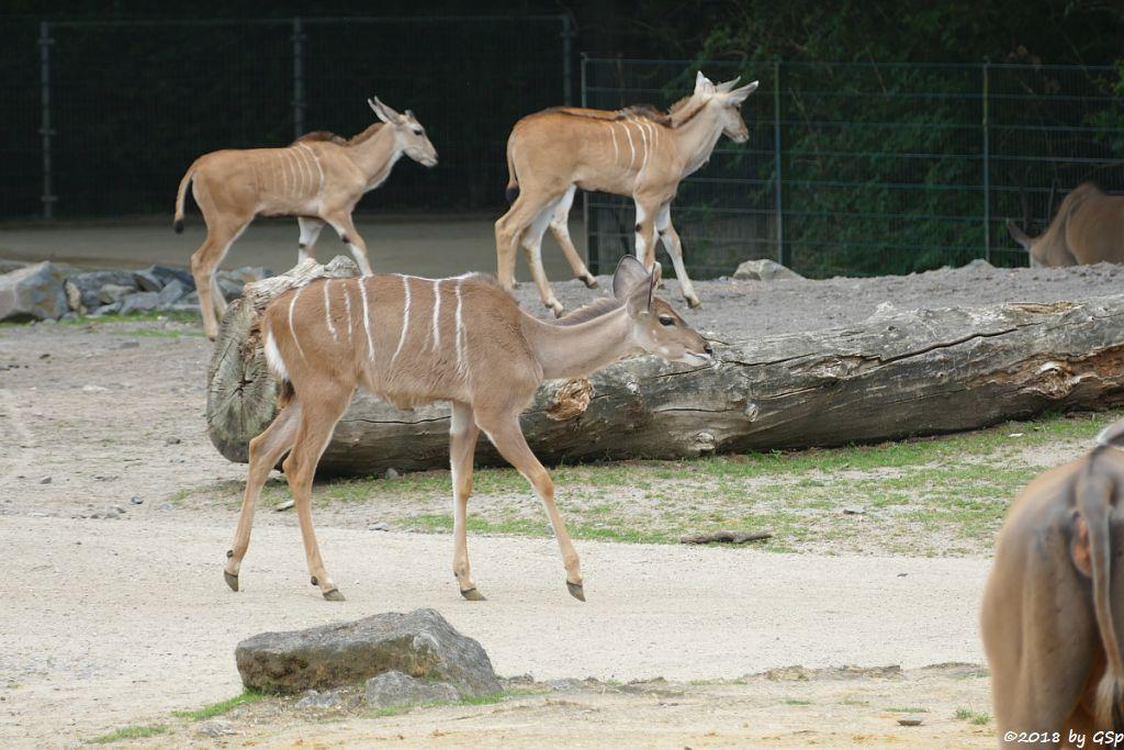 Großer Kudu, Elenantilope
