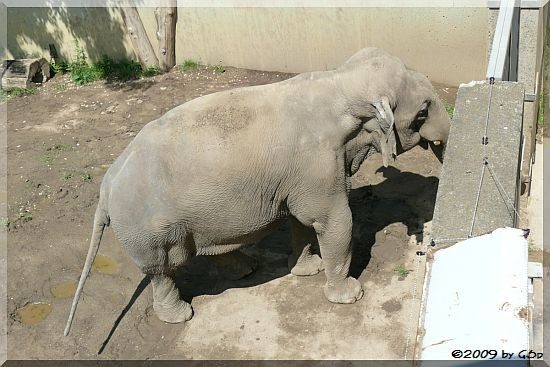 Asiatischer Elefant Naing Thein