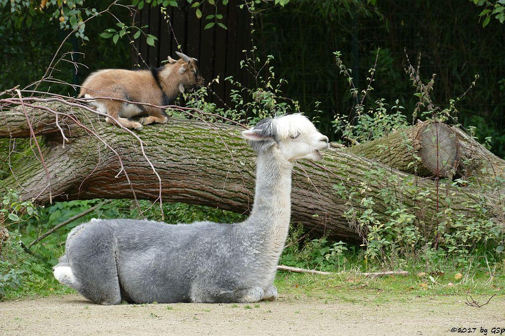 Alpaka, Afrikanbische Zwergzige (Westafrikan. Zwegziege, Kamerun-Zwergziege)