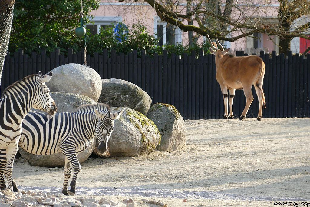 Böhm-Steppenzebra (Granz-Zebra), Elenantilope
