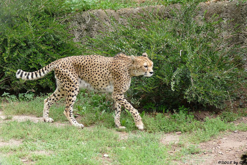 Nordöstlicher (Sudan-) Gepard