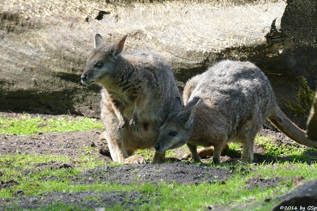 Tammarwallaby (Derbywallaby, Damakänguru)