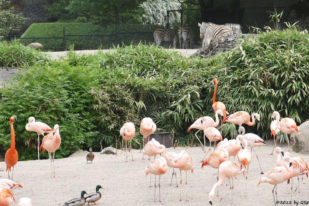 Kubaflamingo (Karibischer Flamingo, Roter Flamingo), Chileflamingo (Chilenischr Flamingo)