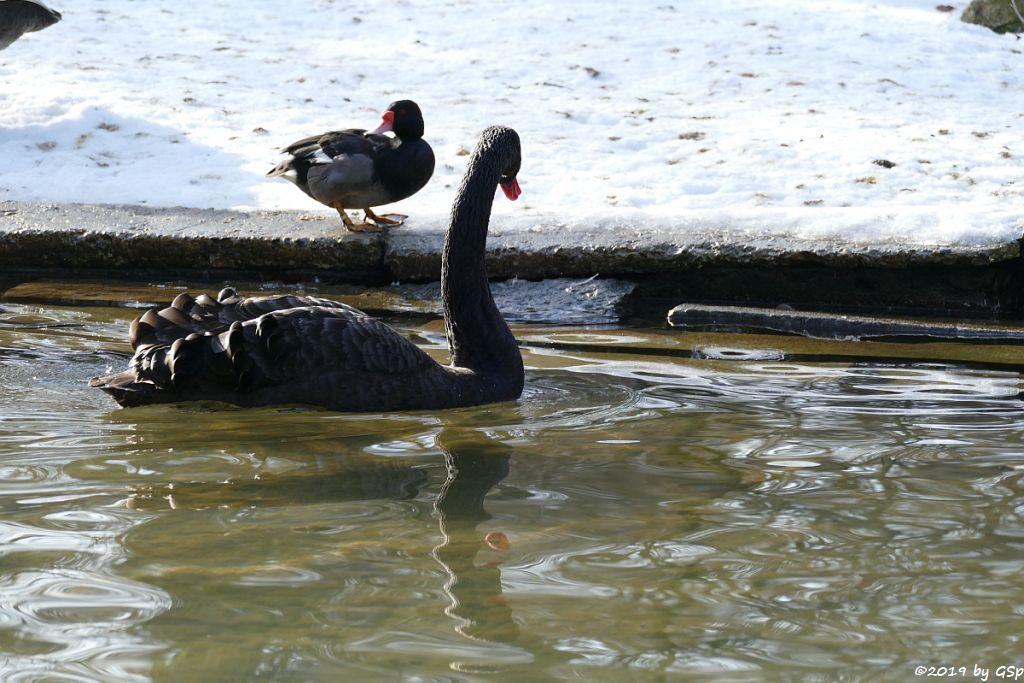 Schwarzschwan (Trauerschwan, Schwarzer Schwan)