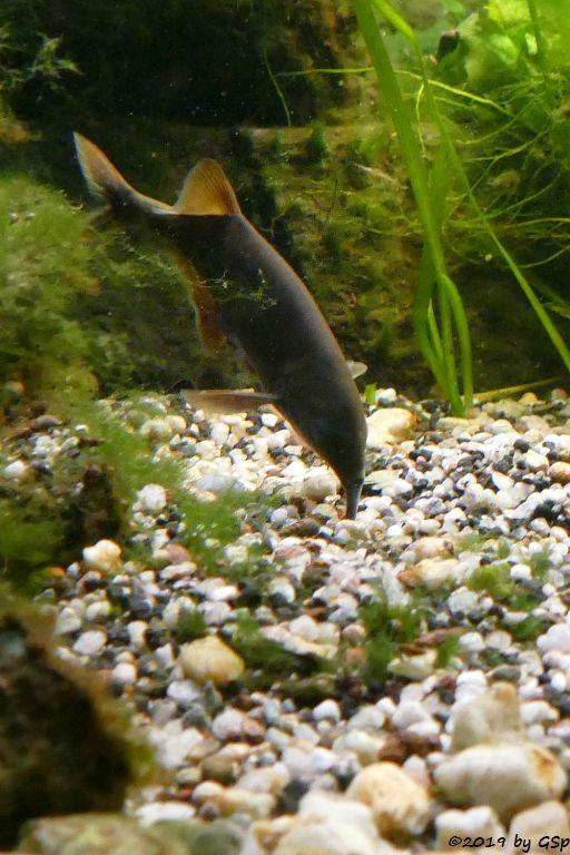 Elefantenrüsselfisch (Tapirfisch)