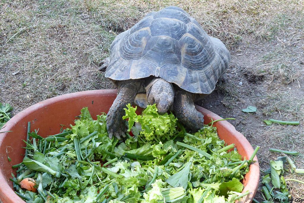 Vierzehen-Landschildkröte