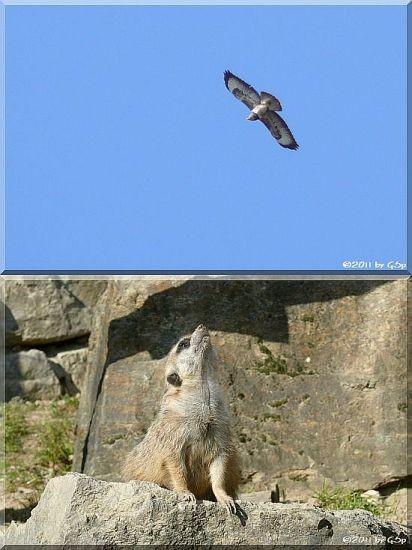 Erdmännchen - sehr wachsam