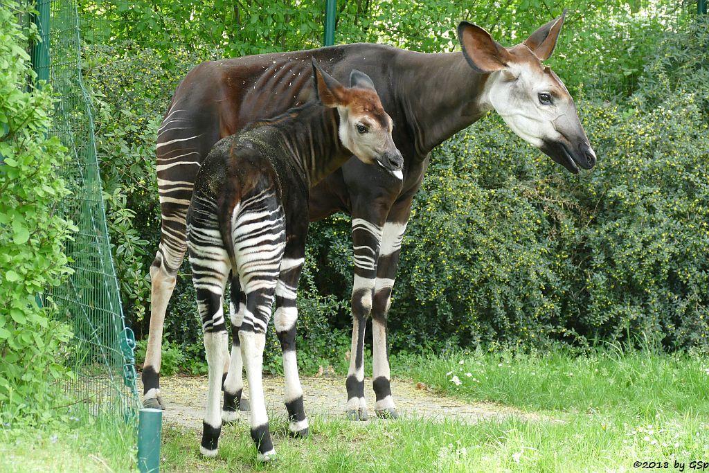 Okapi (Kurzhalsgiraffe, Waldgiraffe), Jungtier geb. am 9.11.17