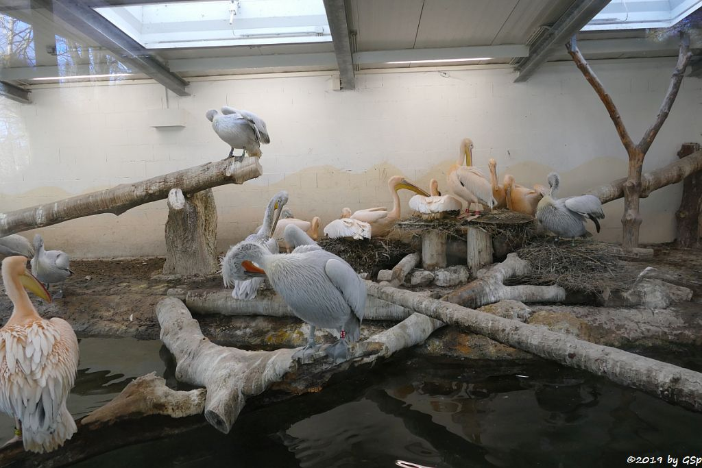 Rosapelikan (Gewöhnlicher Pelikan), Krauskopfpelikan