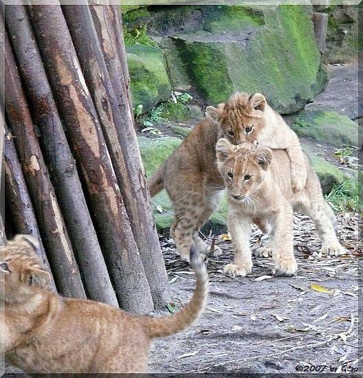 Löwen-Jungtiere, geb.am 3.9.07