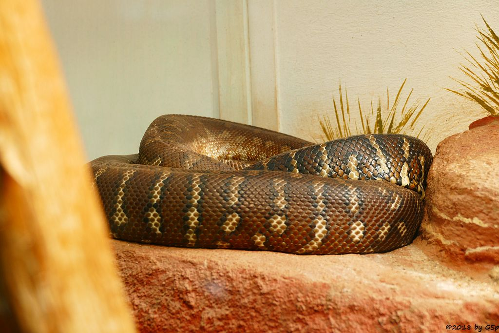 Bredl-Python (Bredls Python, Zentralaustralischer Python)
