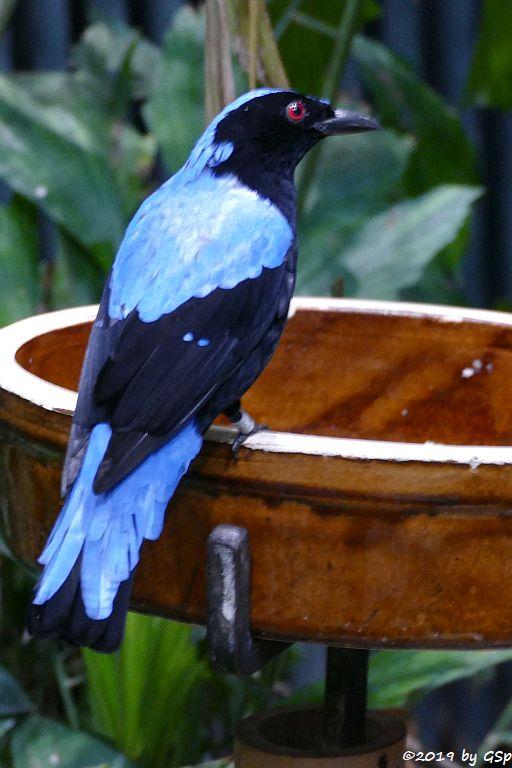 Türkisfeenvogel (Elfenblauvogel, Türkis-Irene)