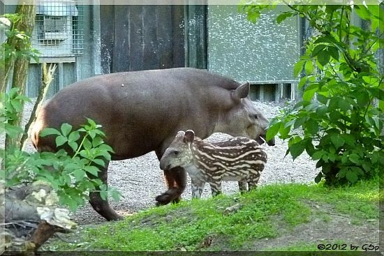 Flachland-Tapir, Jungtier geb. am 1.5.12 (23 Tage alt)