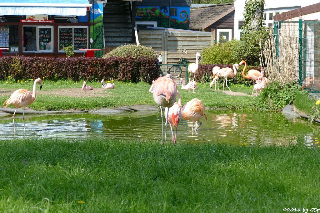 Chileflamingo, Zwergflamingo, Kubaflamingo (Karibischer Flamingo, Roter Flamingo)