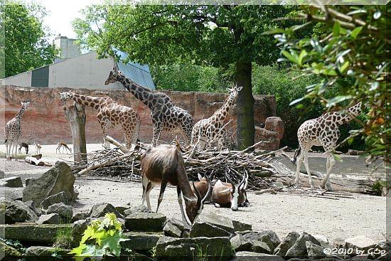 Rothschild-Giraffe, Blässbock