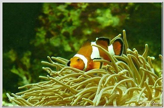 Orangeringel-Anemonenfisch