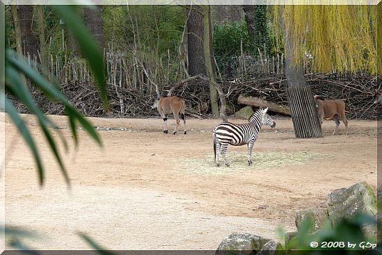 Steppenzebra und Elenantilope