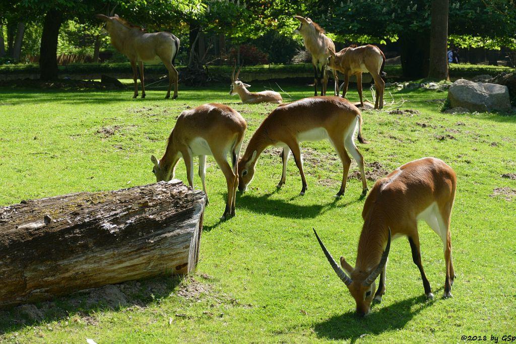 Kafur-Litschi (Letchwe, Kafur-Litschi-Wasserbock), Thomsongazelle, Pferdeantilope